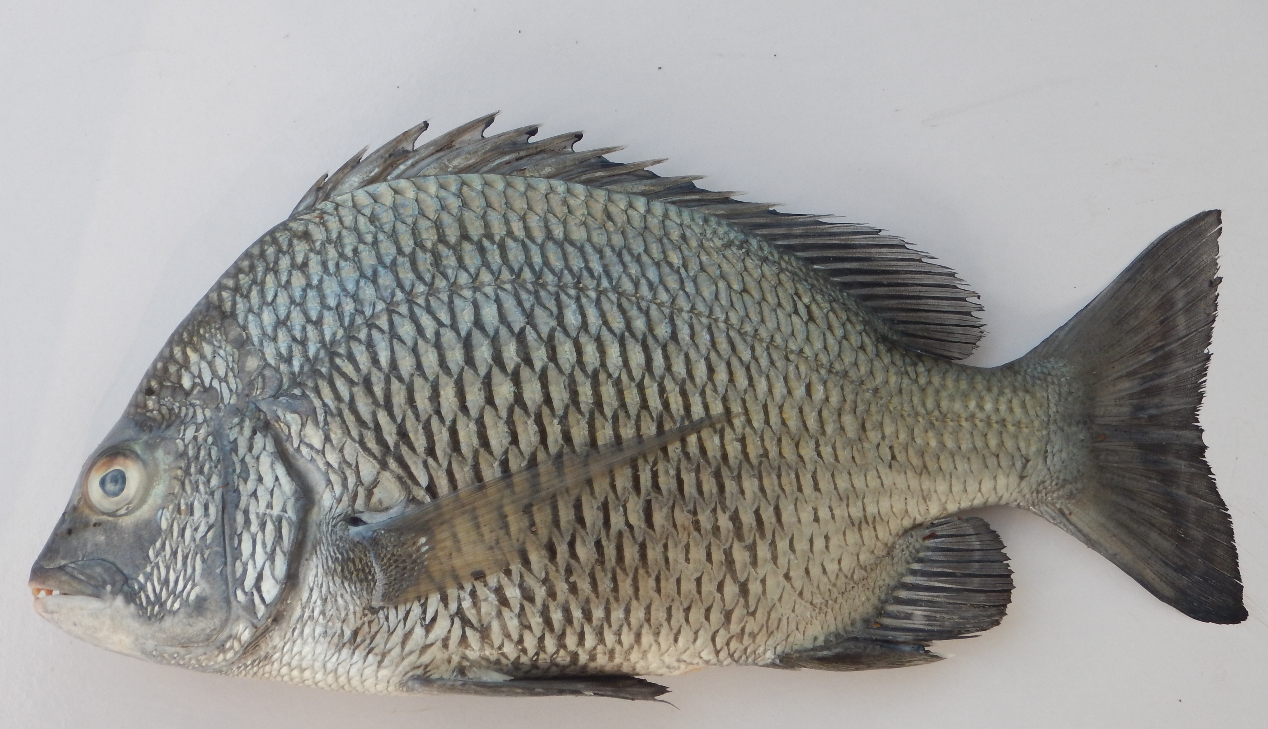 India develops hatchery technology for picnic seabream